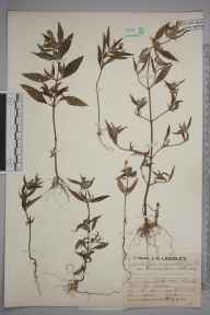 Galeopsis angustifolia var. canescens herbarium specimen from Norton Heath, VC18 South Essex in 1930 by Mr Job Edward Lousley.