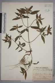 Galeopsis angustifolia herbarium specimen from Epsom, VC17 Surrey in 1929 by Mr Job Edward Lousley.