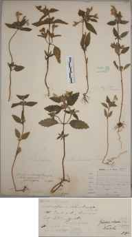 Galeopsis segetum herbarium specimen from Bangor, VC49 Caernarvonshire in 1900 by Mr John Edwards Griffith.