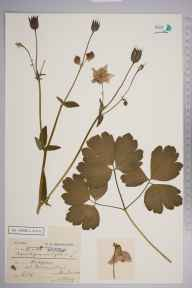 Aquilegia vulgaris herbarium specimen from Manorbier, VC45 Pembrokeshire in 1899 by Charles Smith Nicholson.