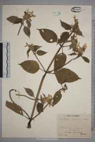 Galeopsis speciosa herbarium specimen from Southery, VC29 Cambridgeshire in 1945 by Mr Job Edward Lousley.