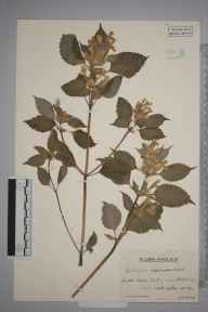 Galeopsis versicolor herbarium specimen from Huby, VC62 North-east Yorkshire in 1944 by Mr Edward Charles Wallace.
