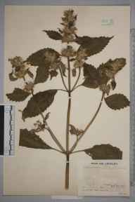 Galeopsis versicolor herbarium specimen from Kinross, VC87 West Perthshire in 1935 by Mr Job Edward Lousley.