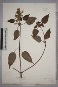 Galeopsis versicolor herbarium specimen from Norwood, VC17 Surrey in 1912.