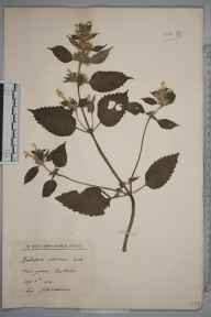 Galeopsis versicolor herbarium specimen from Eastfields in 1931 by John Ezra Woodhead.