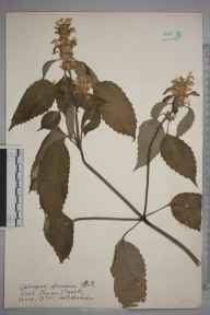 Galeopsis versicolor herbarium specimen from Loch Leven, Ambiguous locality (GB) in 1935 by William Robert Sherrin.