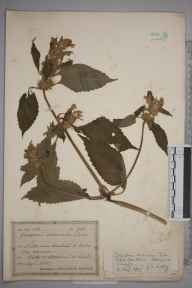 Galeopsis versicolor herbarium specimen from Littleport, White Hall Farm, VC29 Cambridgeshire in 1927 by Mr Joseph Edward Little.
