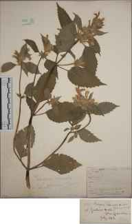 Galeopsis versicolor herbarium specimen from Jardine Hall, VC72 Dumfriesshire in 1856 by Mr Frederick Townsend.