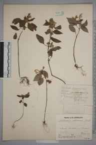 Galeopsis versicolor herbarium specimen from Littleport, VC29 Cambridgeshire in 1927 by J L Luddington.