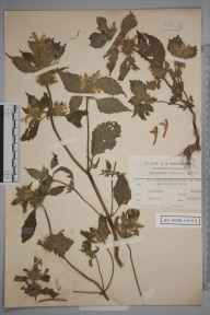 Galeopsis versicolor herbarium specimen from Killearn, VC86 Stirlingshire in 1911 by Charles Smith Nicholson.