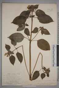 Galeopsis versicolor herbarium specimen from Lewisham, VC16 West Kent in 1904.