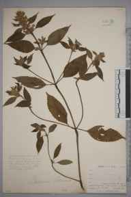 Galeopsis tetrahit herbarium specimen from East Looe, VC2 East Cornwall in 1900 by Mr Allan Octavian Hume.
