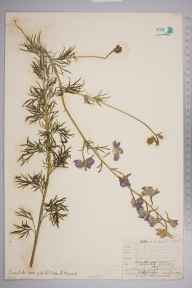 Consolida ajacis herbarium specimen from Norwood, VC17 Surrey in 1909 by William Henry Griffin.