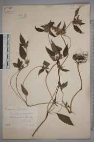 Galeopsis tetrahit herbarium specimen from Blackwater, VC17 Surrey in 1884 by Mr William Hadden Beeby.