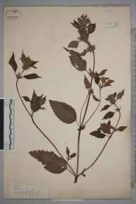 Galeopsis tetrahit herbarium specimen from Limpsfield, VC17 Surrey in 1886.