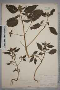 Galeopsis tetrahit herbarium specimen from Hindhead, VC17 Surrey in 1898 by Mr Allan Octavian Hume.