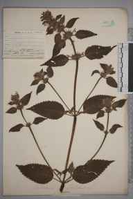Galeopsis tetrahit herbarium specimen from Shalford Common, VC17 Surrey in 1904 by Mr Allan Octavian Hume.