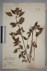 Galeopsis tetrahit herbarium specimen from Dovercourt, VC19 North Essex in 1905 by William Robert Sherrin.