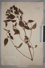 Galeopsis tetrahit herbarium specimen from Pulborough, VC13 West Sussex in 1881 by Mr William Hadden Beeby.