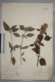 Galeopsis tetrahit herbarium specimen from Maentwrog, VC48 Merionethshire in 1922 by Mr William Charles Barton.
