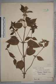 Galeopsis tetrahit herbarium specimen from Lower Morden, VC17 Surrey in 1909 by Mr Charles Edward Britton.