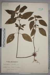 Galeopsis tetrahit herbarium specimen from Tiverton, Devon in 1941 by Mr Arthur Langford Still.