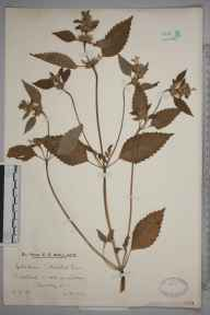 Galeopsis tetrahit herbarium specimen from Wotton, VC17 Surrey in 1929 by Mr Edward Charles Wallace.