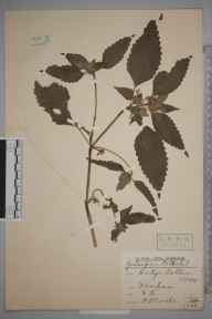 Galeopsis tetrahit herbarium specimen from Denham, Ambiguous locality (GB) in 1909 by Rev. Philip Henry Cooke.