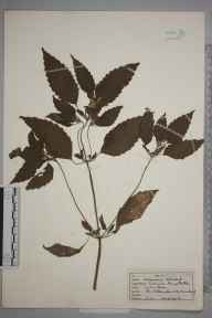 Galeopsis tetrahit herbarium specimen from Elterwater, VC69 Westmorland in 1945 by I Gaster.