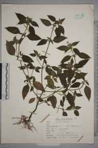 Galeopsis tetrahit herbarium specimen from Pett, VC14 East Sussex in 1963 by Peter Charles Holland.