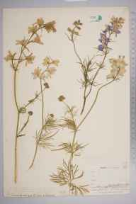 Consolida ajacis herbarium specimen from Trenant Lodge, VC2 East Cornwall in 1900 by Mr Allan Octavian Hume.