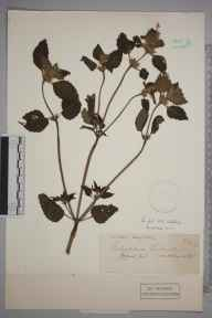 Galeopsis tetrahit herbarium specimen from Cirencester,Oakley Wood, VC33 East Gloucestershire in 1913.