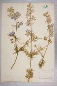 Consolida ajacis herbarium specimen from East Looe, VC2 East Cornwall in 1900 by Mr Allan Octavian Hume.