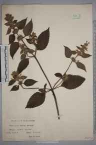 Galeopsis bifida herbarium specimen from Banstead, Burgh Heath, VC17 Surrey in 1928 by Mr Charles Edward Britton.