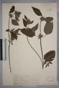 Galeopsis bifida herbarium specimen from Oxford, VC22 Berkshire in 1907 by Mr George Claridge Druce.