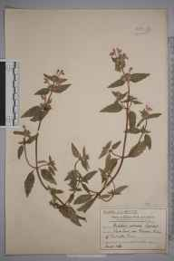 Galeopsis angustifolia herbarium specimen from Raynes Park, VC17 Surrey in 1912 by Mr Charles Edward Britton.