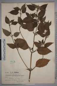 Galeopsis tetrahit herbarium specimen from Wisley, VC17 Surrey in 1924 by Mr Charles Edward Britton.