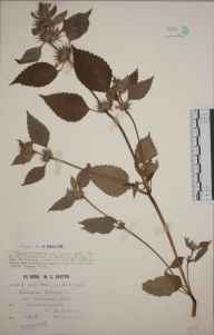 Galeopsis tetrahit herbarium specimen from Ashmansworth, VC12 North Hampshire in 1915 by Mr William Charles Barton.