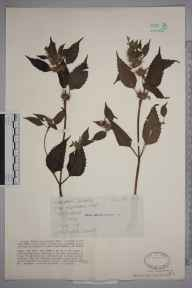 Galeopsis tetrahit herbarium specimen from Gomshall, VC17 Surrey in 1929 by W Biddiscombe.
