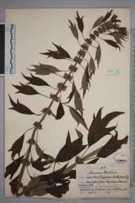 Leonurus cardiaca herbarium specimen from Hanham, Somerset in 1871 by Christopher Edmund Broome.