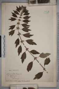 Leonurus cardiaca herbarium specimen from Selborne, Hampshire in 1915 by Mrs Cecil Ivry Sandwith.