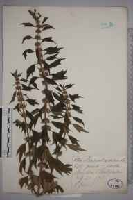Leonurus cardiaca herbarium specimen from Llansilin, VC50 Denbighshire in 1871 by Miss E Jones.