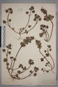 Lamium amplexicaule herbarium specimen from West Malling, VC16 West Kent in 1906 by William Henry Griffin.