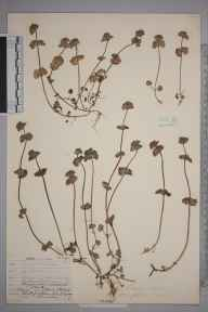 Lamium amplexicaule herbarium specimen from Stone Street, Kent in 1907 by William Henry Griffin.