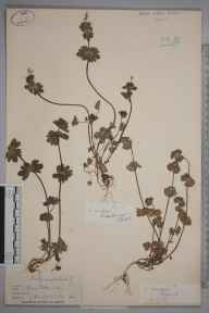 Lamium amplexicaule herbarium specimen from Thames Ditton, VC17 Surrey in 1838 by Mr Hewett Cottrell Watson.