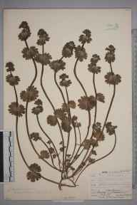 Lamium amplexicaule herbarium specimen from Shoreham, VC13 West Sussex in 1908 by Mr Allan Octavian Hume.