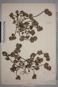Lamium amplexicaule herbarium specimen from Broadstairs, VC15 East Kent in 1902 by Mr Allan Octavian Hume.