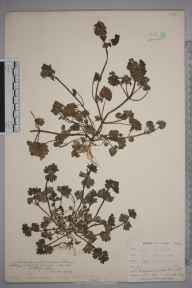 Lamium amplexicaule herbarium specimen from Hayes, VC16 West Kent in 1906 by William Henry Griffin.