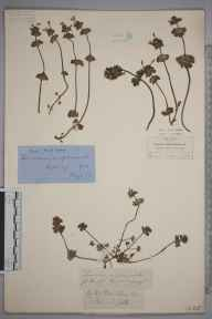 Lamium amplexicaule herbarium specimen from Cambridge, VC29 Cambridgeshire in 1878 by Hugh Neville Dixon.