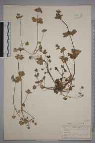 Lamium amplexicaule herbarium specimen from Godalming, VC17 Surrey in 1943 by John Richard Wallis.
